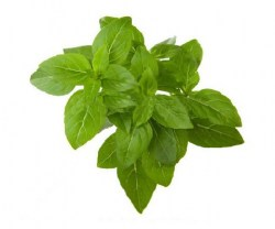 basil-essential-oil-7 (1)6