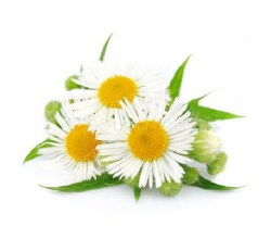 chamomile-essential-oil