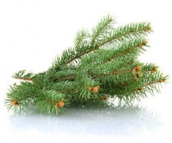 fir-tree-essential-oil6
