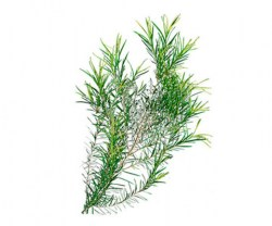 tea-tree-essential-oil3