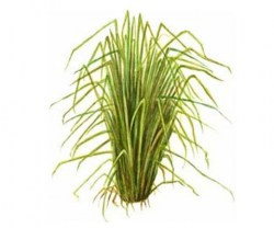 vetiver-essential-oil9 (1)