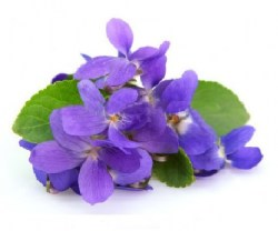 violet-essential-oil9 (1)